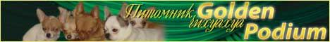 Питомник чихуахуа Голден подиум